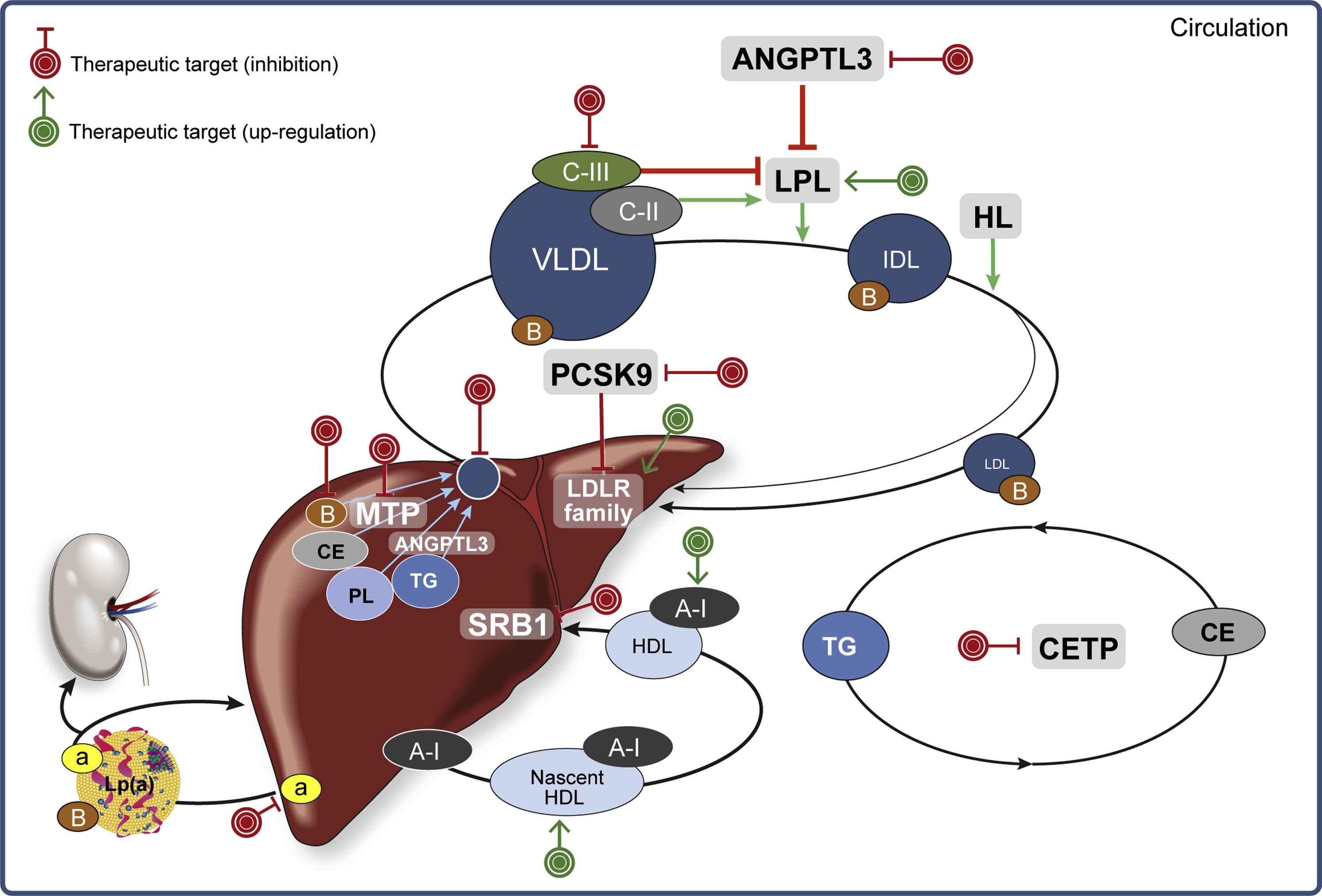 lipid metabolism and emerging targets for lipid